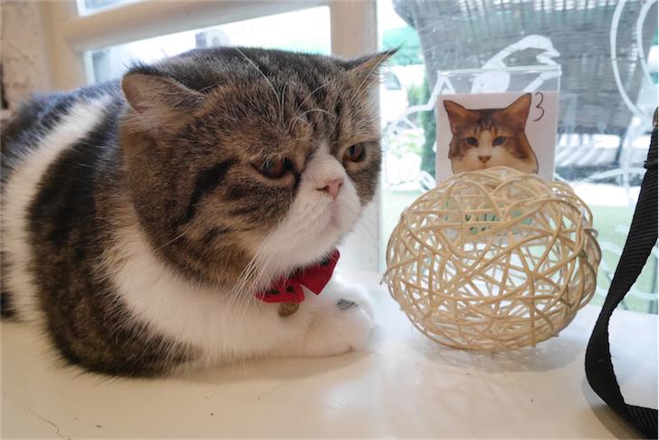 在bts旁餵名种大肥猫 - caturday cat cafe